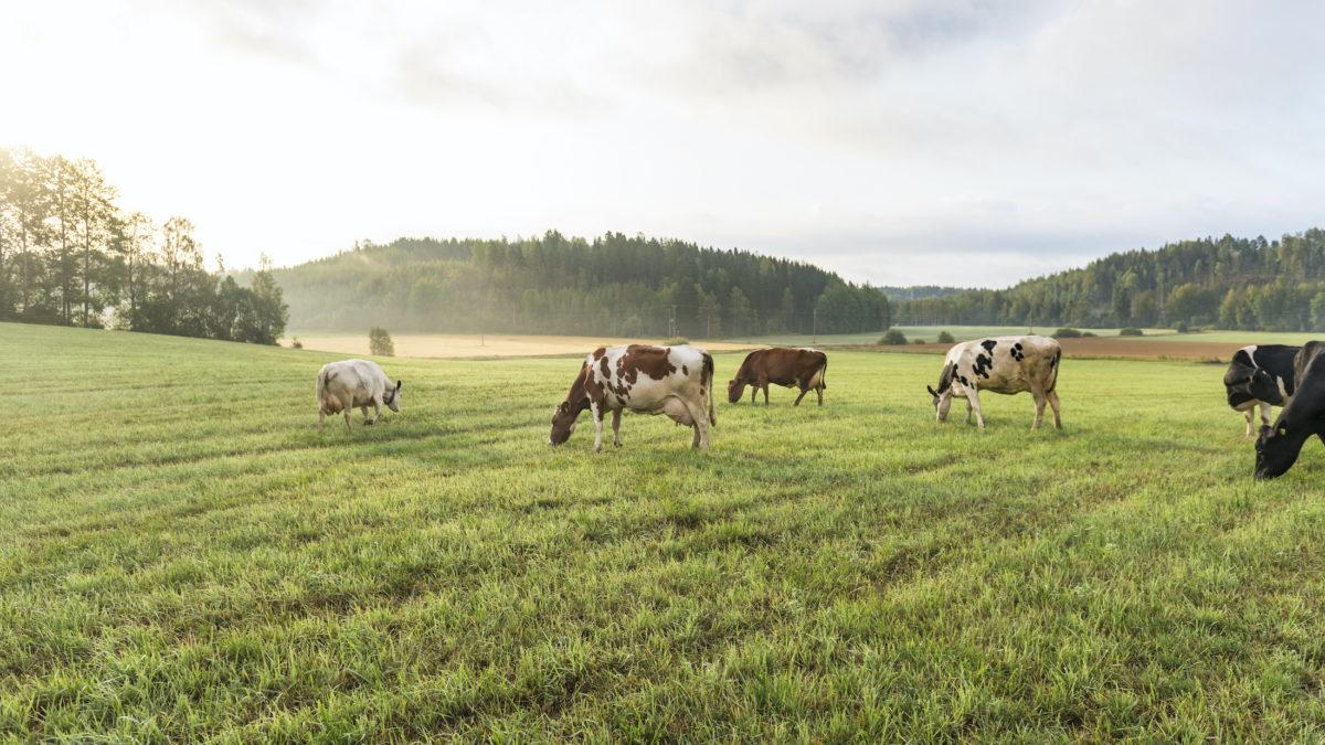 Vastuullisten annosten raaka-aineet poimitaan paikallisilta pelloilta
